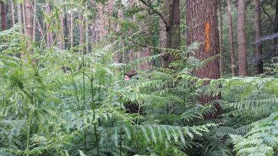 Werken aan een klimaatgezond bos in Lembeke en Oosteeklo - Varens