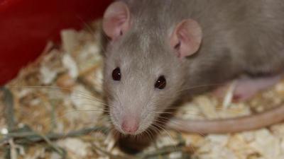 Rattenbestrijding - Rattenbestrijding